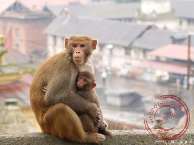 Een aap kijkt met zijn jongen rond bij de lijkverbranding in Kathmandu