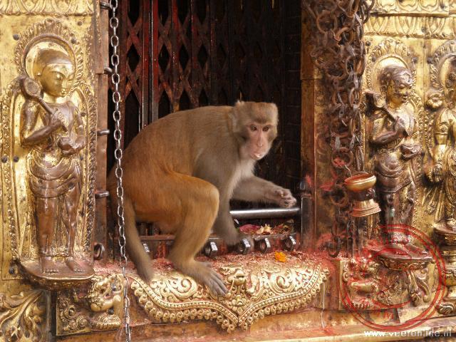 De apen hebben bezit genomen van de Swayambunath tempel