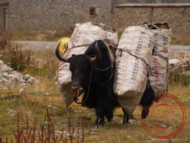 Yaks zijn prima te gebruiken om goederen te vervoeren over hobbelige wegen