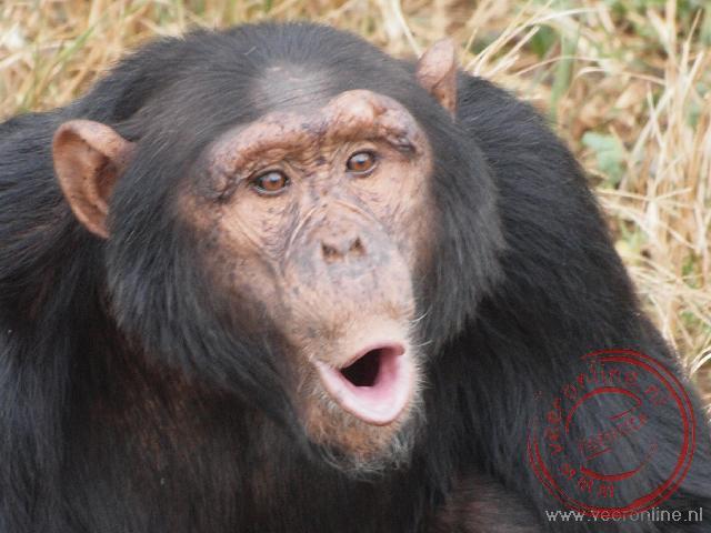 Een Chimpansee wacht op het eten in