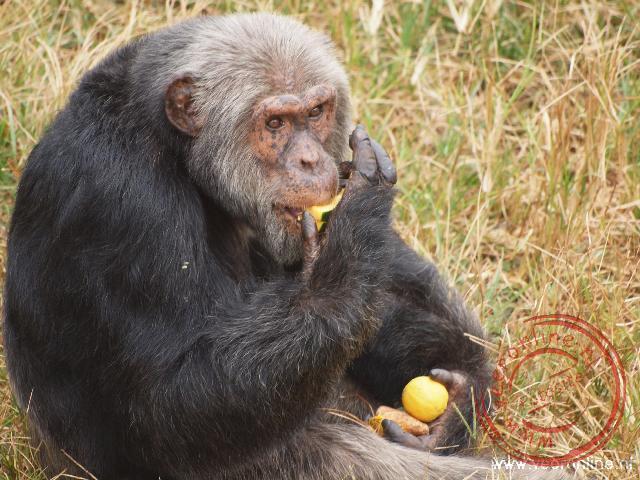 Een oude chimpansee op het Ngamba Island Chimpanzee Sanctuary