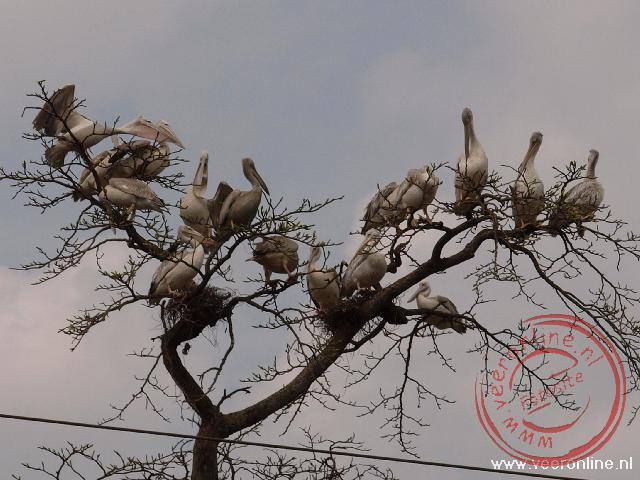 Een groep pelikanen rust uit in een boom langs de weg