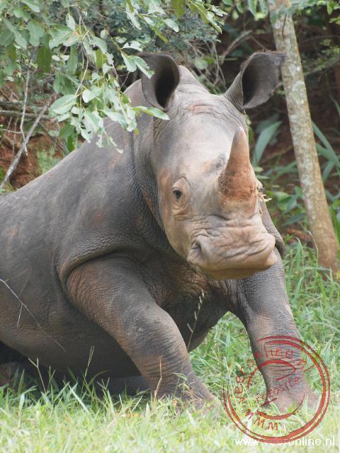 In Uganda leven nog tien neushoorns. De neushoorns worden beschermd door rangers tegen stropers