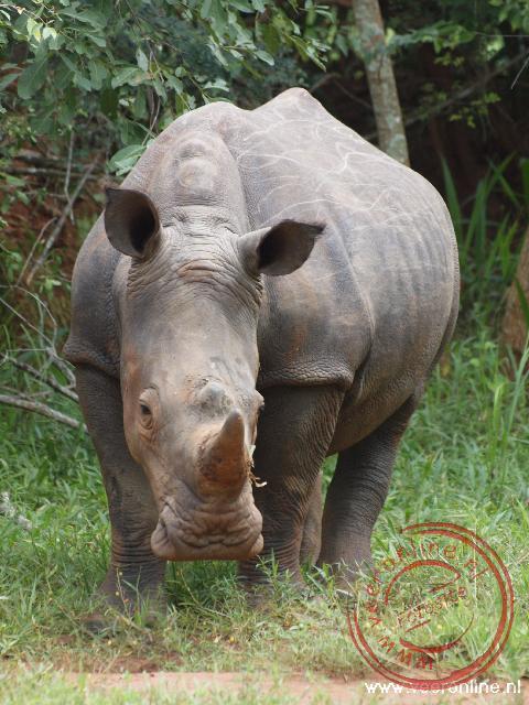 Een neushoorn in het Ziwa Rhino Sanctuary