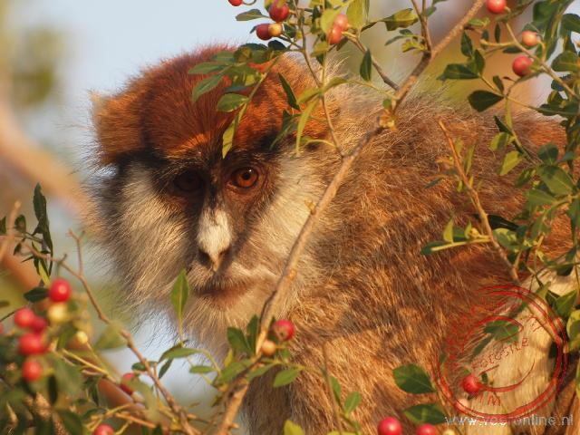 Een Patas monkey tussen de takken
