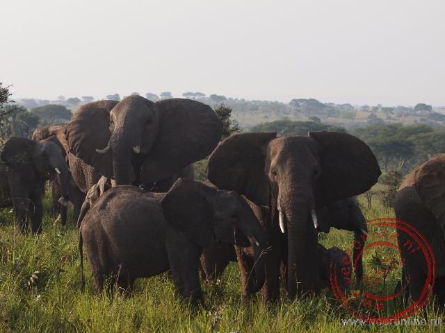 Een troep olifanten kijkt verstoort op als wij passeren