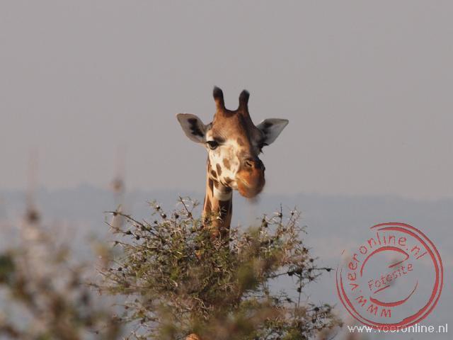 Een giraffe kijkt over de bosjes.