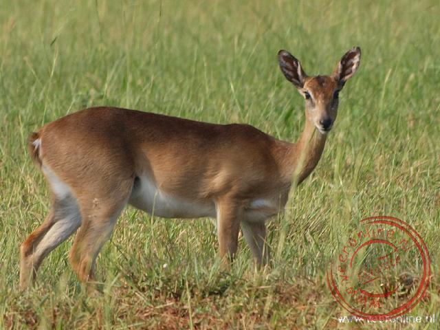 Een vrouwtjes Uganda Cob antilope