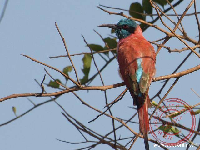 Een Northern Carmine Bee-eater (Karmijn rode Bijeneter)