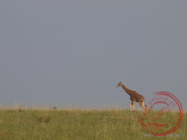 Een giraf loopt eenzaam door het Murchison Falls National Park