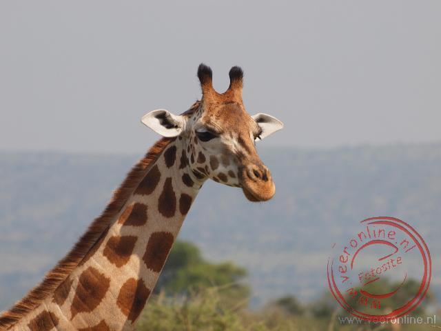 Een giraf loopt vlak langs de weg
