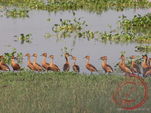 Een groep Fulvous Whistling Ducks (Rosse fluiteenden)