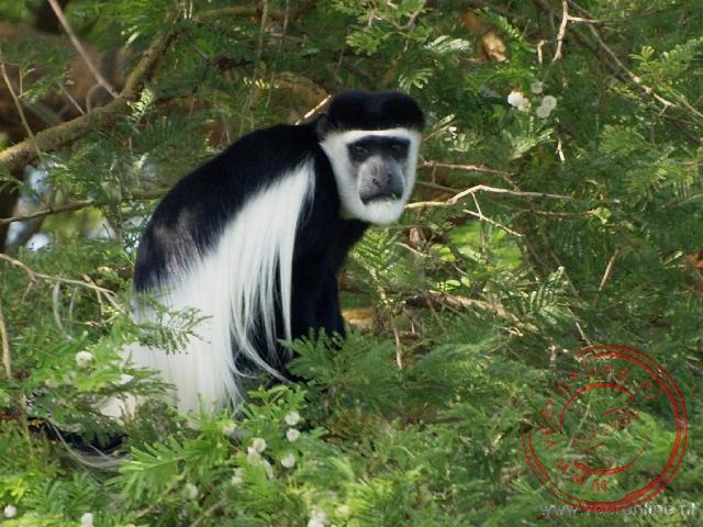 Een black and white colobus monkey
