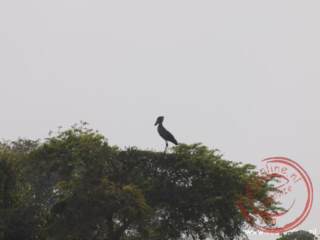 Een zeldzame Shoebill vogel rust uit boven in de boom