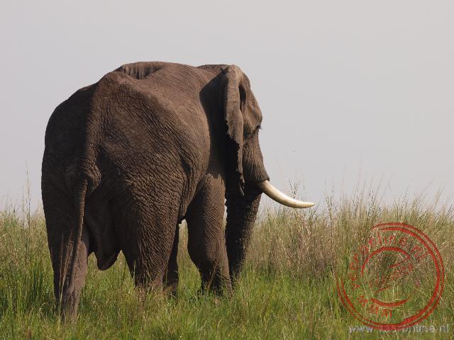 Een grote Afrikaanse olifant loopt weg bij het water