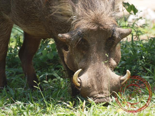 Een wrattenzwijn graast op de campsite