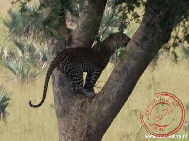 Een luipaard klimt in de boom om in de schaduw te gaan liggen