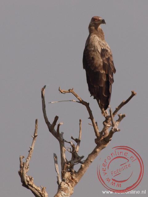 Een Tawny Eagle in de dode boom