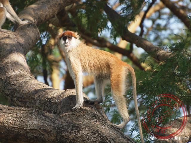 Een patas monkey in de boom
