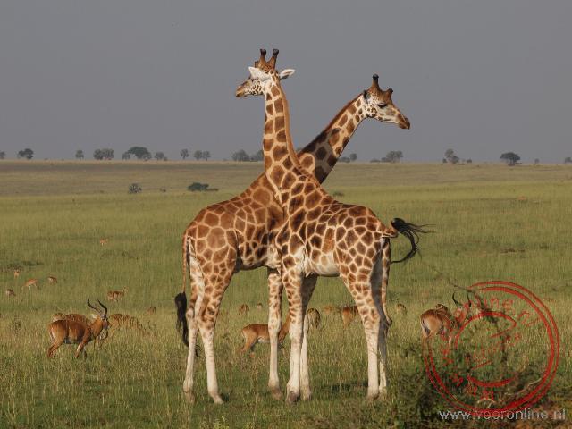 Twee giraffen in het National Park