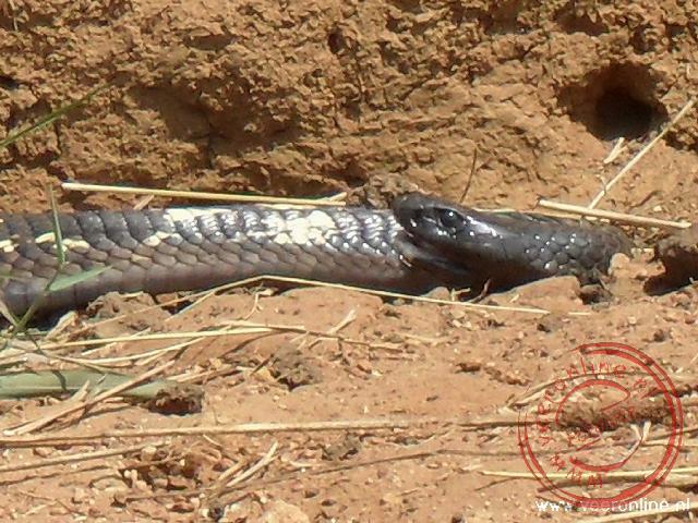 Een gevaarlijke Cobra slang ligt in de greppel van de weg