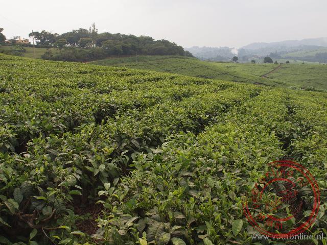 Grote theeplantages in het westen van Uganda