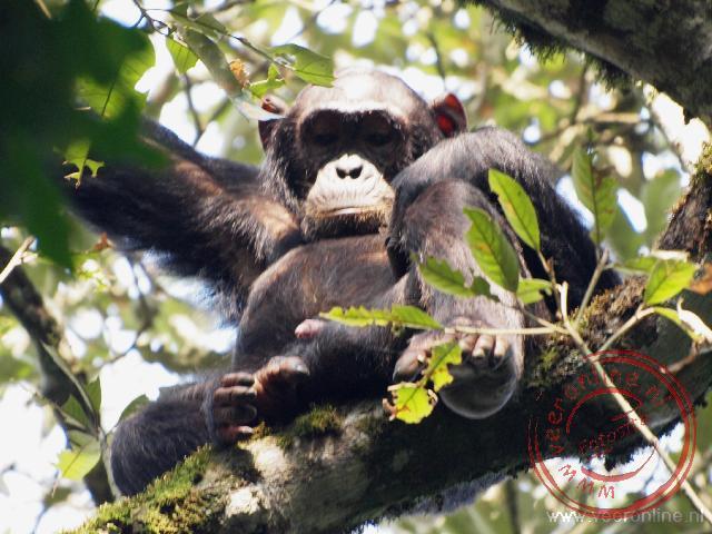 Een Chimpansee kijkt vanuit de boom toe