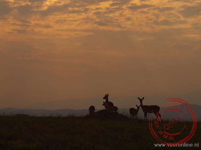 Uganda Kobs tijdens de zonsondergang