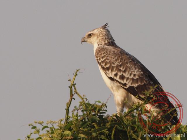 Een juveniele Martial Eagle