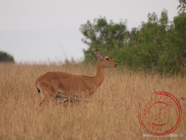 Een Reedbuck antilope tussen het hoge gras