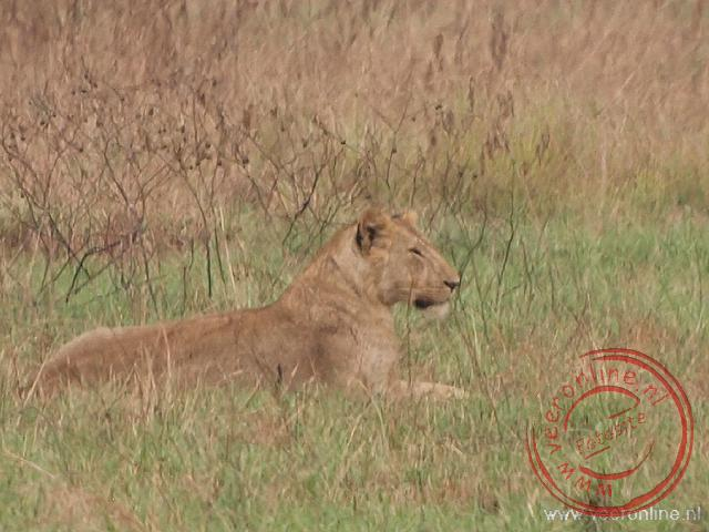 Een vrouwtjes leeuw rust uit in het gras