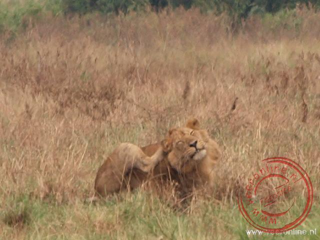 Een jonge mannetjes leeuw krapt aan zijn kop
