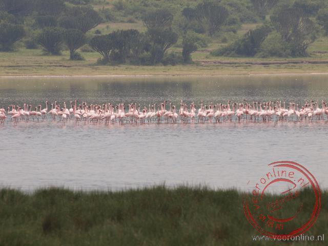 Flamingo in het lake Kotwe nabij het Queen Elisabeth National Park