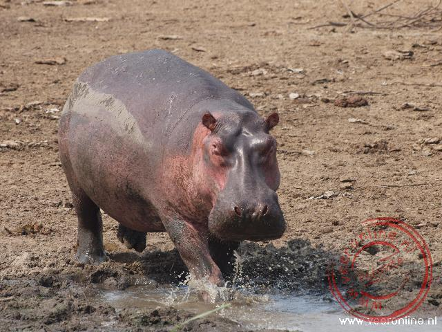 Een nijlpaard loopt terug naar het water van het Kazinga Channel
