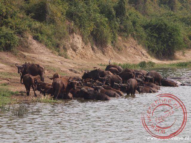 Tijdens de warme uren van de dag zoeken de buffels verkoeling in het water