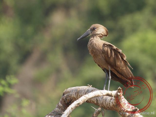 Een hamerkop vogel in Queen Elisabeth NP