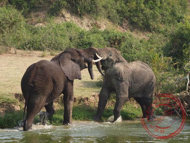 Twee olifanten stoeien met elkaar aan de waterlijn