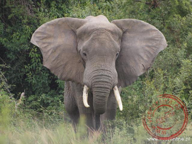 Een olifant kijkt dreigend naar ons busje
