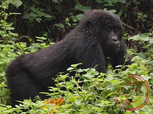 Imposante Gorilla's in Bwindi National Park