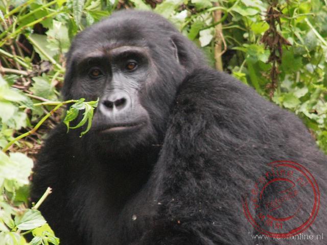 Een van de gorilla's van de Shongi familie