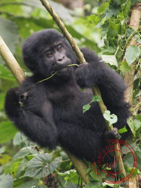 Een jonge gorilla speelt tussen de takken