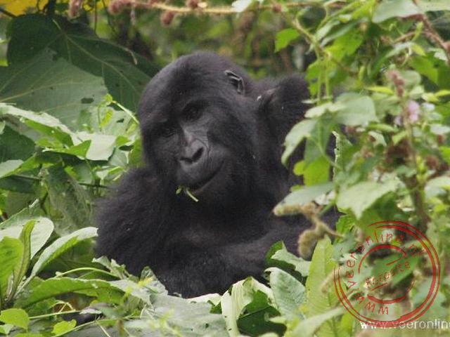 Een Gorilla van de Shongi familie in Bwindi