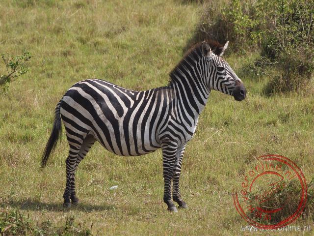 Een Zebra in het Lake Mburo National Park in Uganda