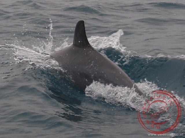 Een dolfijn zwemt voor de speedboot uit nabij Vilanculos