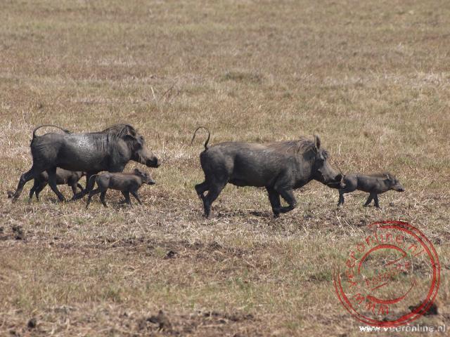 Een Warthog of wrattenzwijn familie in Gorongosa National Park