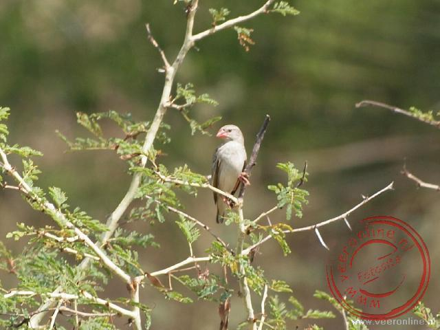 Mozambique, Malawi en Zambia - Een red-billed quelea in de boom