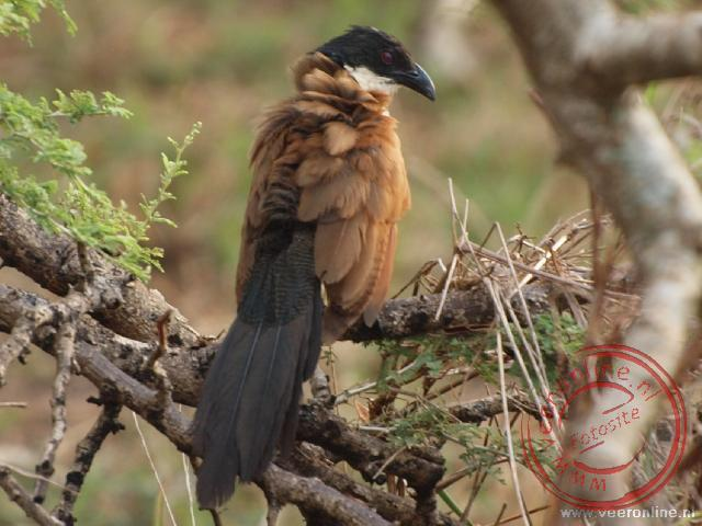 Een Senegal Coucal schut zijn veren uit in Gorngosa National Park Mozambique