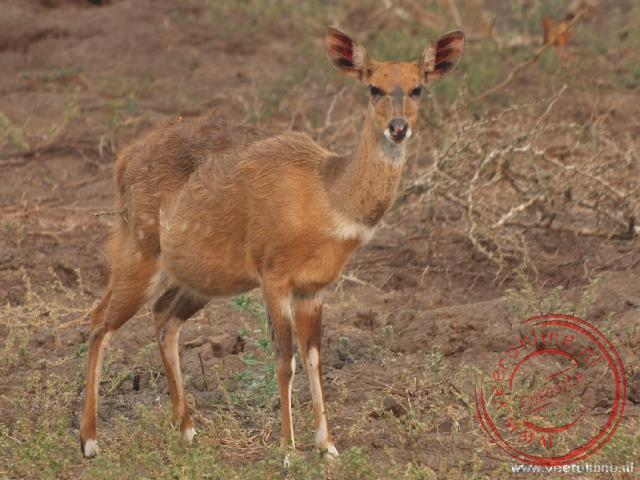 Een zwangere Oribi Antilope in Gorongosa Nationaal Park