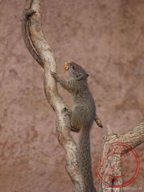 Een eekhoorntje in het Liwonde National Park