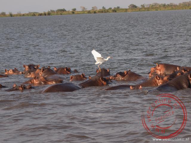 een groep nijlpaarden of hippo's ligt te baden in de Shire rivier in het Liwonde National Park